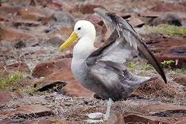 albatros des galépagos